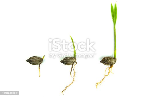 147512291 istock photo Germination sequence of palm tree 930410090
