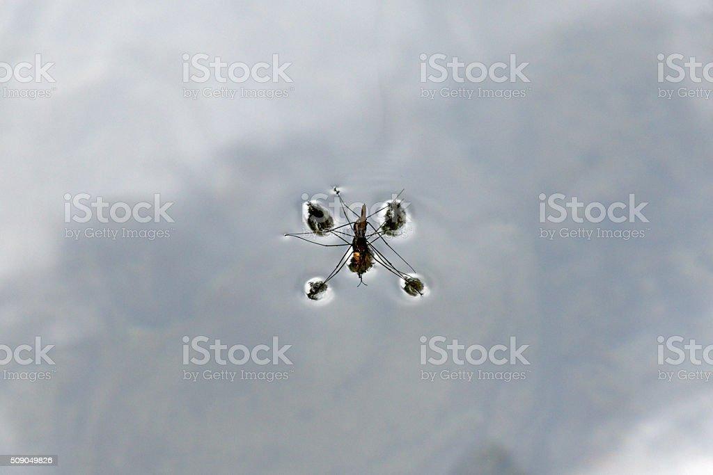 Gerridae stock photo