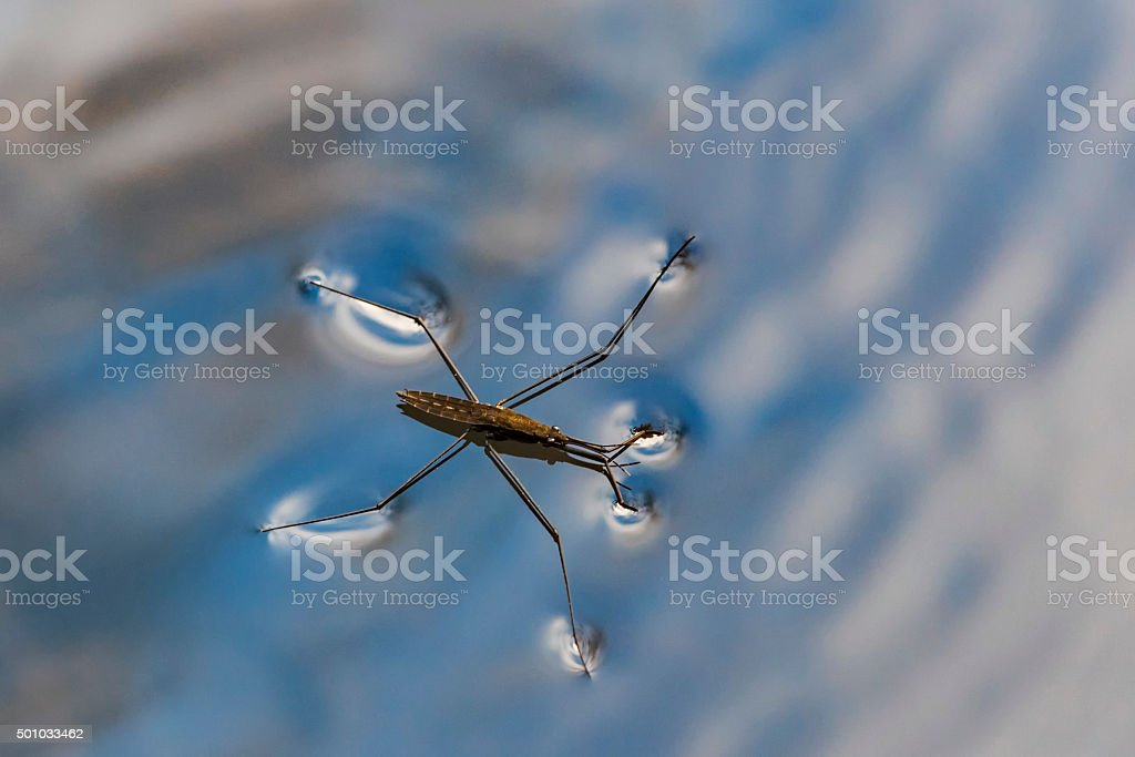 Gerris lacustris, commonly known nature stock photo