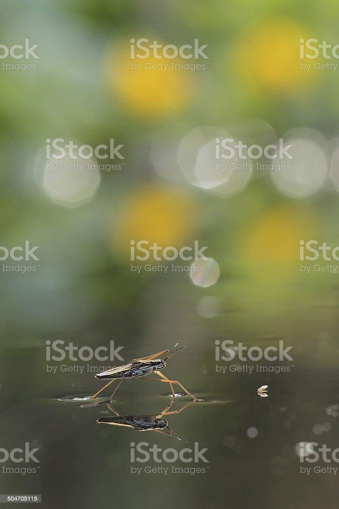 Gerris lacustris - pond skater stock photo