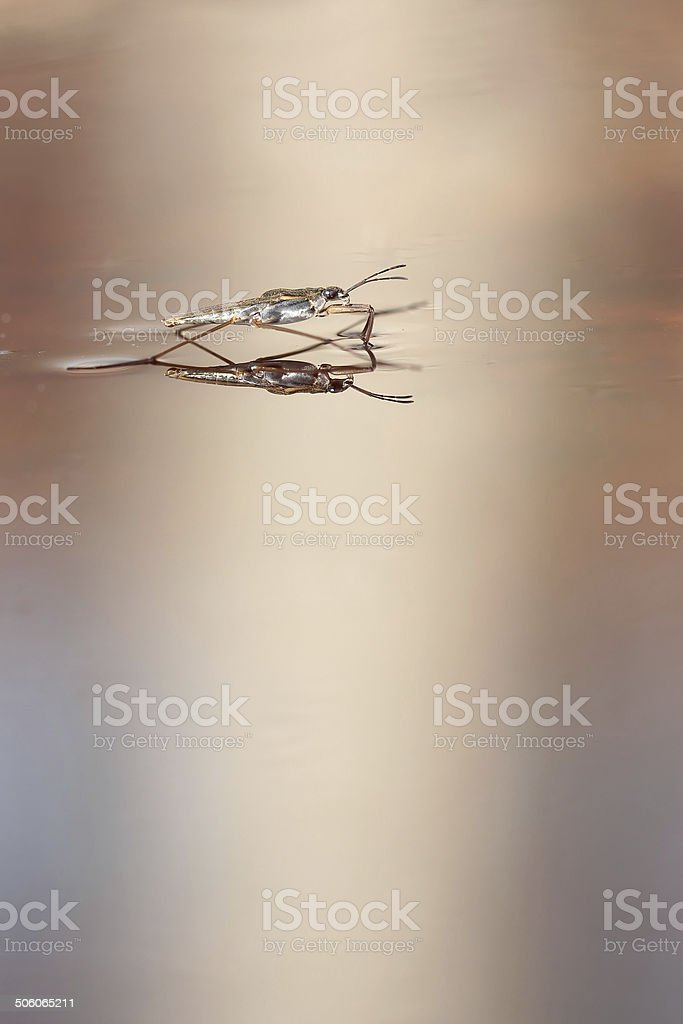 Gerris lacustris,  pond skater stock photo