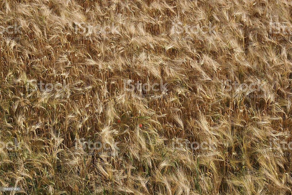 Gerstenfeld / Bread wheat field royalty free stockfoto
