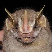 istock Gervais's fruit-eating bat 1212608563