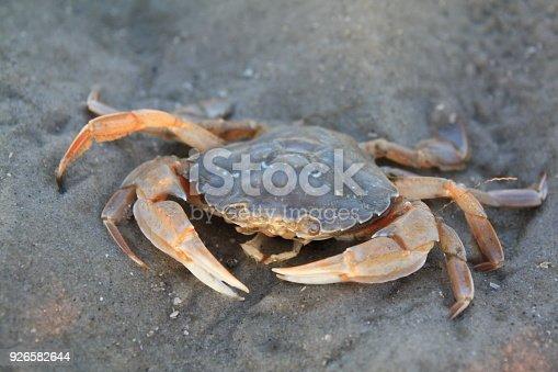 Zu sehen ist eine Schwimmkrabbe die am Strand einer deutschen Nordseeinsel gestrandet ist.