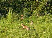 gesunde Fuchswelpen beim Spielen vorm Bau