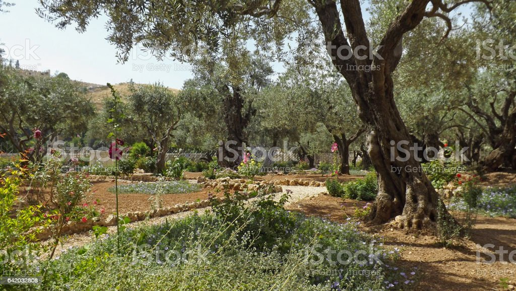 Gethsemane garden at the foot of the Mount of Olives in Jerusalem stock photo