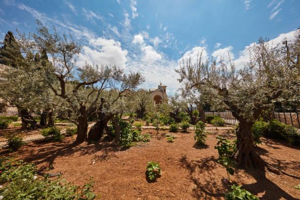 Gethsemane garden of olive trees stock photo
