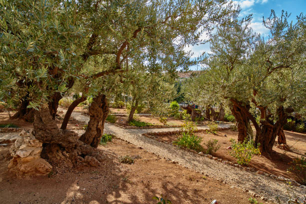 Gethsemane olive garden, Jerusalem stock photo