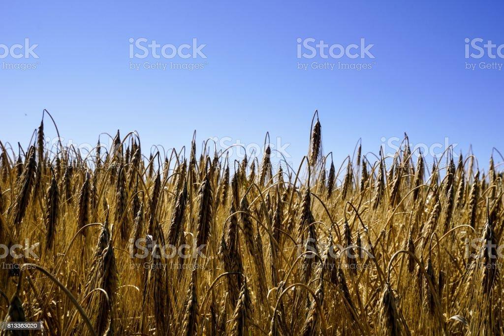 Getreidefeld - Feld - Getreide - blauer Himmel stock photo
