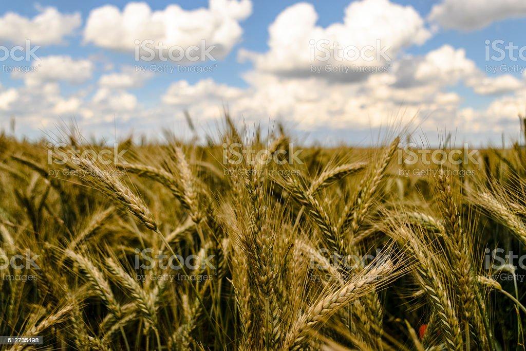 Getreidefeld Nahaufnahme stock photo