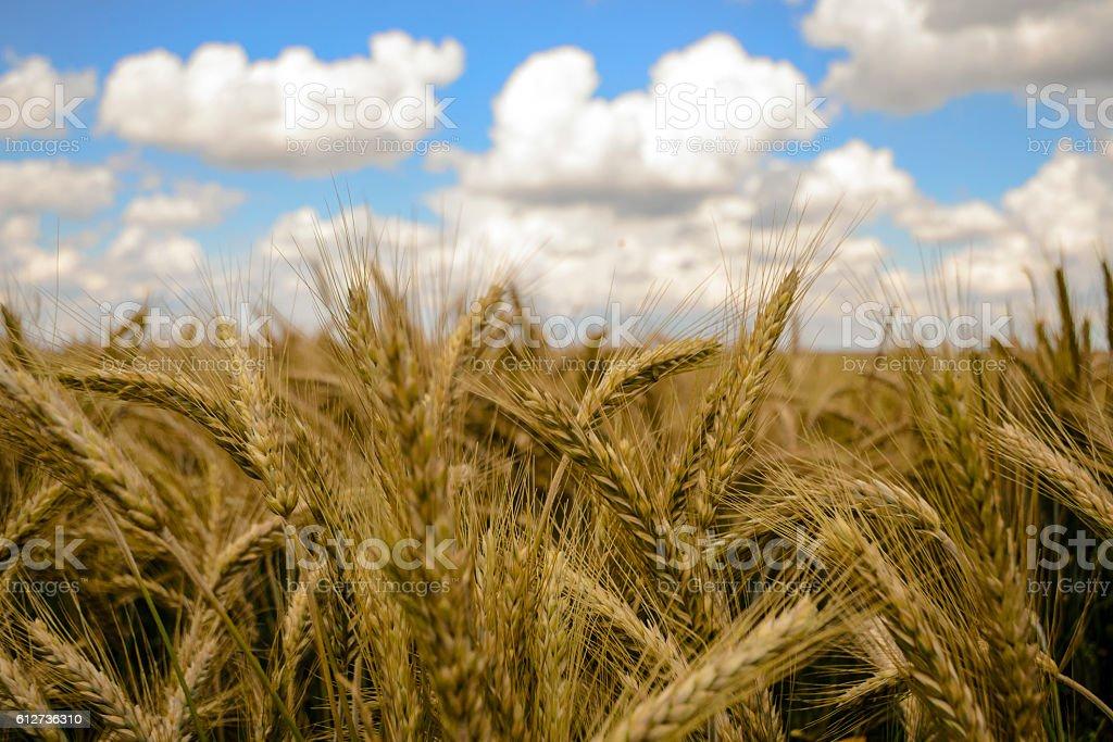 Getreidefeld vor wunderbarem Wolkenhimmel stock photo