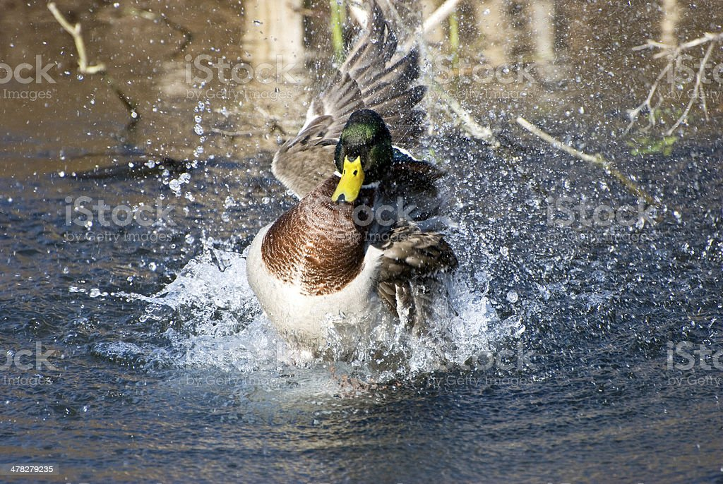 Getting a ducking royalty-free stock photo