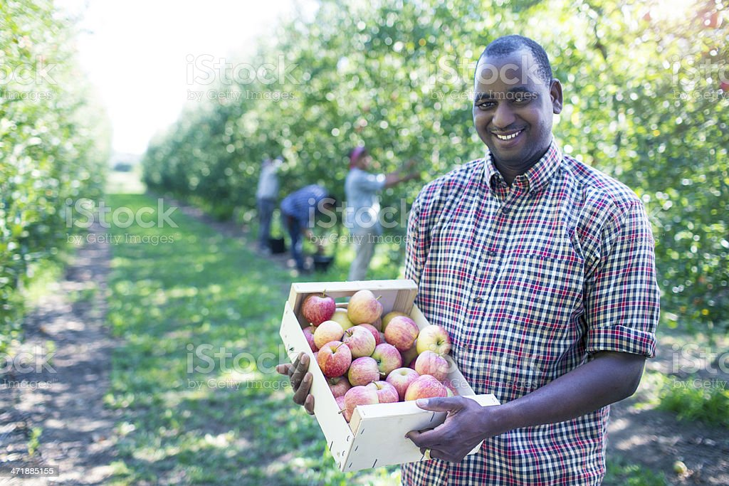 Getting apples ready to the store royalty-free stock photo