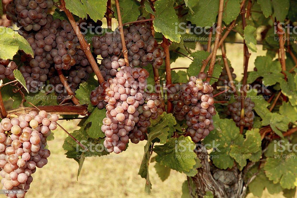 Gewurztraminer grapes on a vine at Greata Ranch vineyard. stock photo