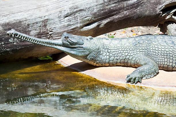 Gharial Krokodilleder – Foto