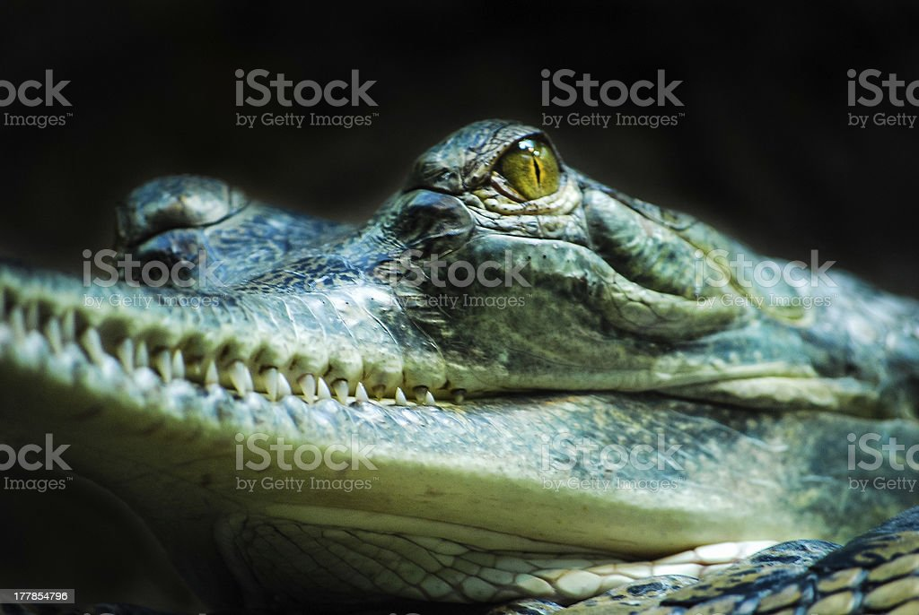 Gharial royalty-free stock photo