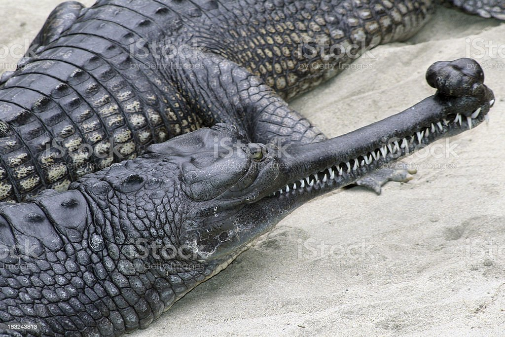 Gharials royalty-free stock photo