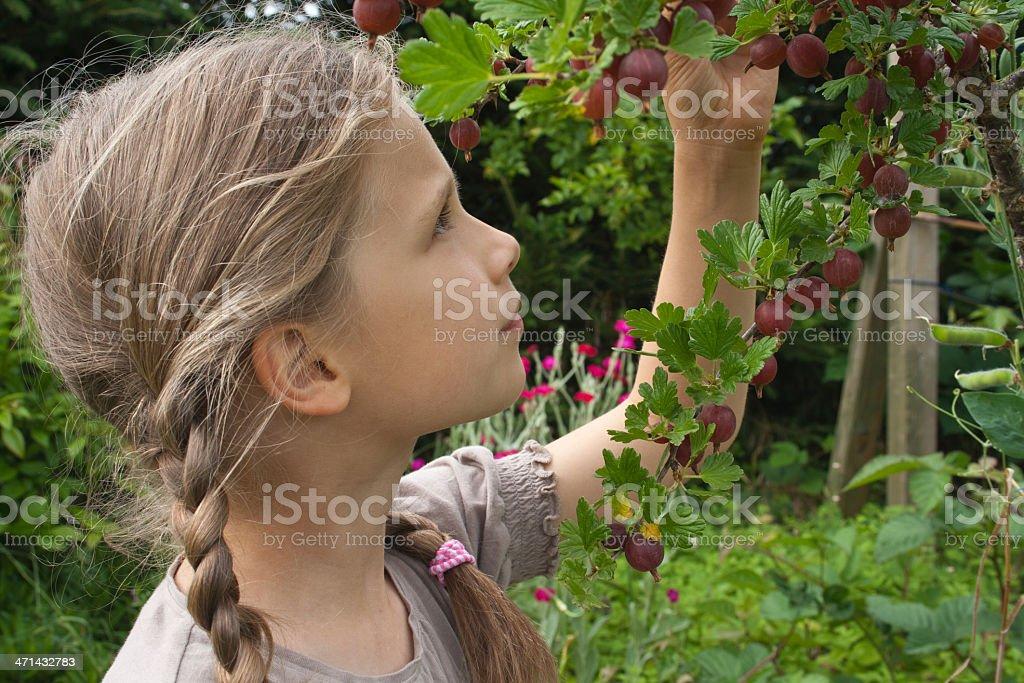 ghoseberries royalty-free stock photo