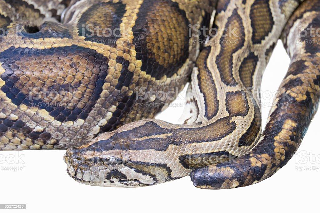 Ghost black pastel ball python (Python regius) isolated on white stock photo