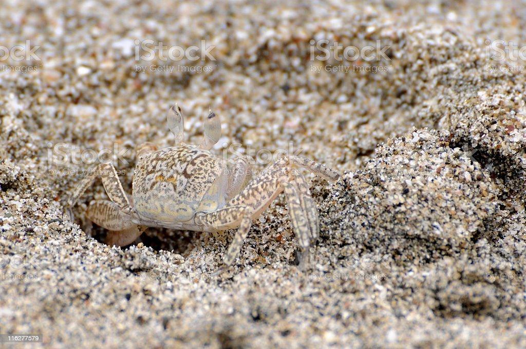 ghost crab, Ocypode gaudichaudii, camouflaged against beach sand stock photo