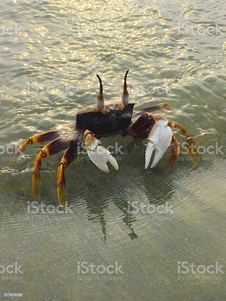 Ghost Crab (Ocypode quadrata) stock photo