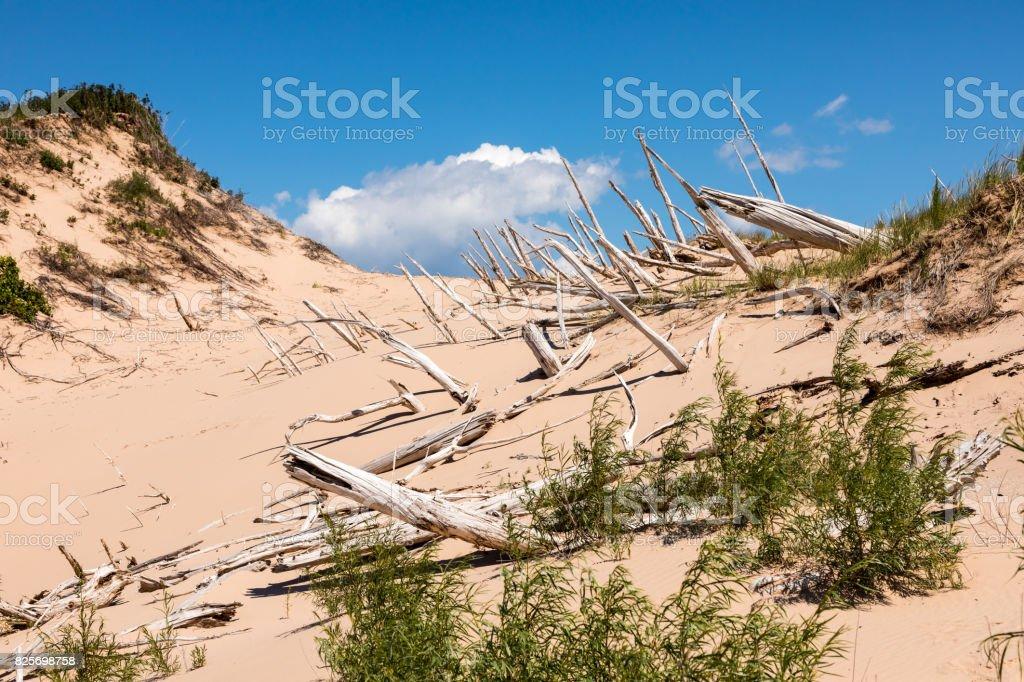 Ghost Forest of Sleeping Bear Dunes near Empire Michigan stock photo