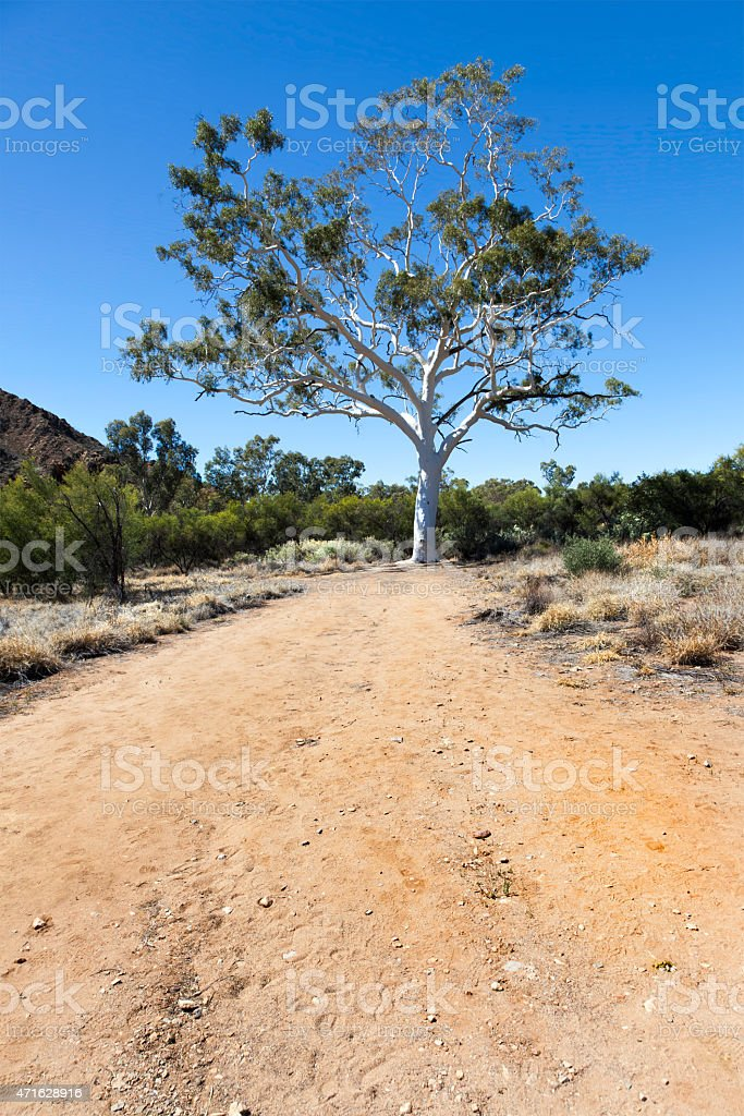 ghost gum australia stock photo