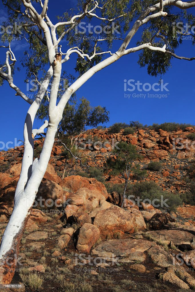 Ghost Gum royalty-free stock photo