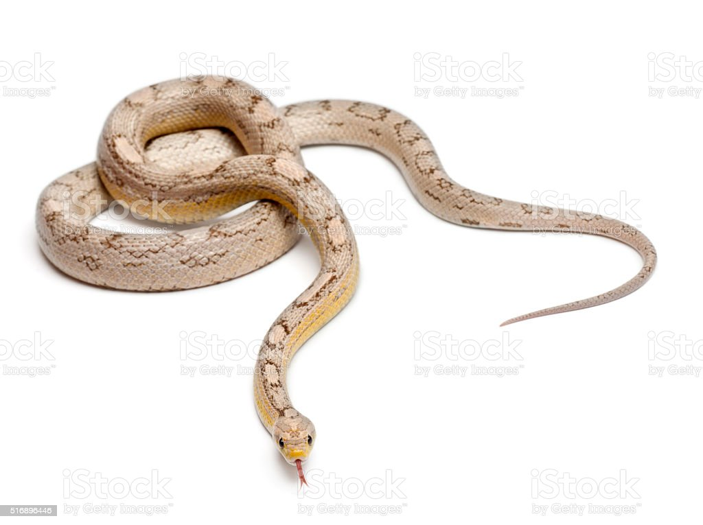 Ghost mothley Corn Snake or Red Rat Snake, Pantherophis guttatus, stock photo