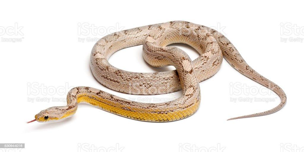 Ghost mothley Corn Snake or Red Rat Snake, Pantherophis guttatus, stock photo
