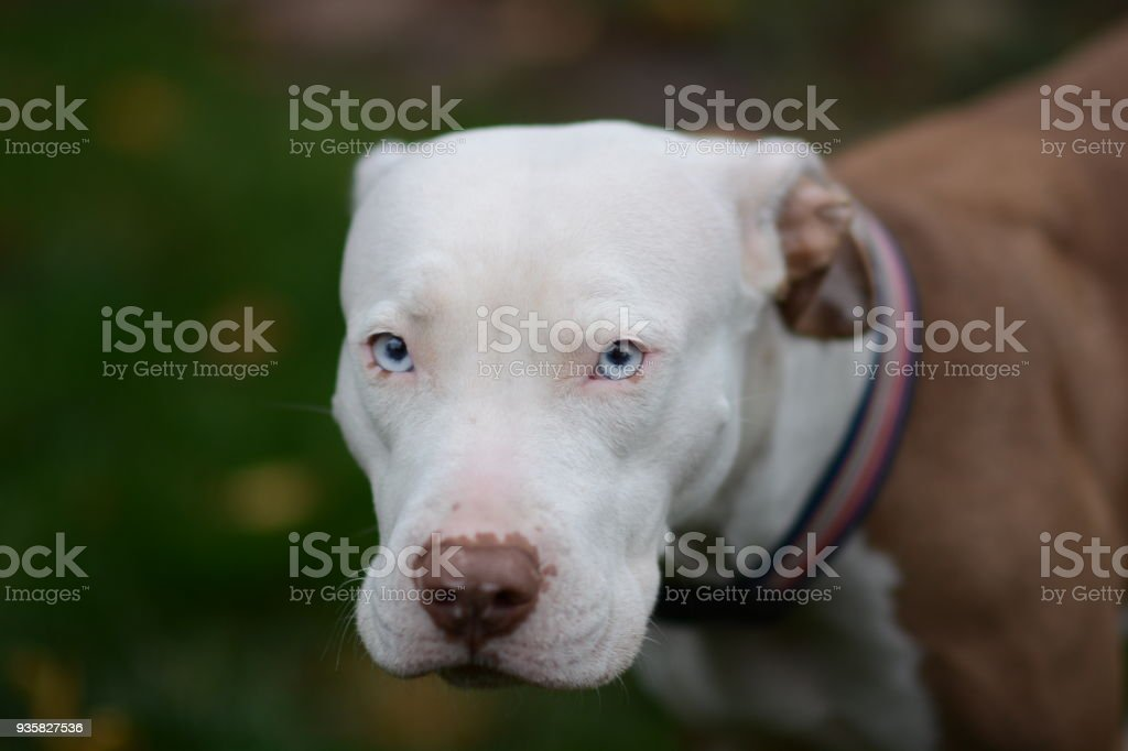 Ghost pit bull cutie stock photo