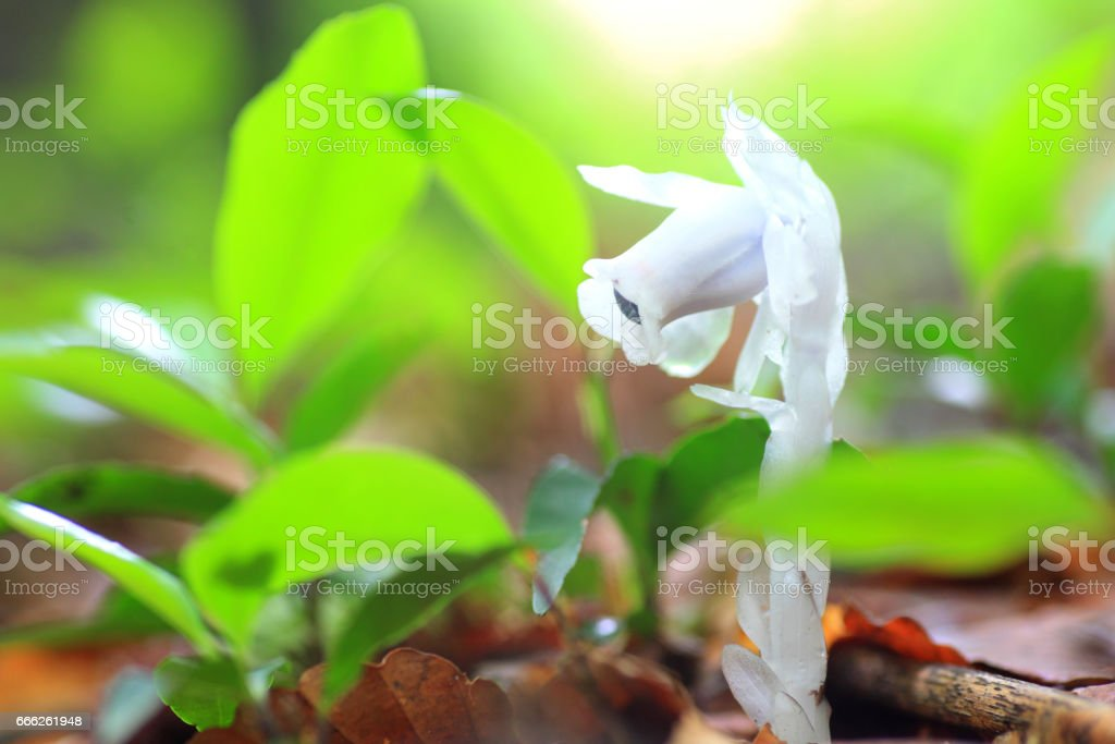 Ghost plant or Indian pipe stock photo