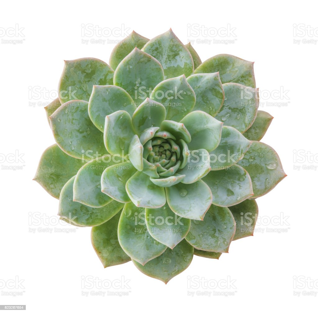 Ghost plant succulent isolated.Top view.