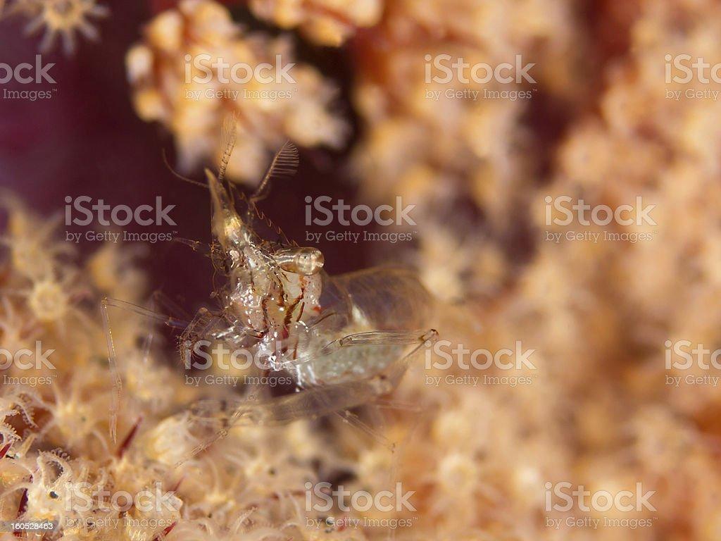 Ghost shrimp (Kemponia tenuipes) royalty-free stock photo