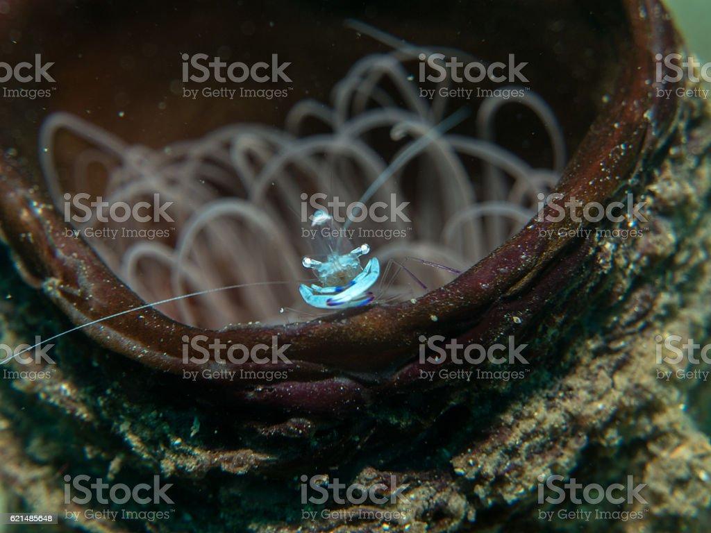 Geistergarnele unter dem Meer Lizenzfreies stock-foto