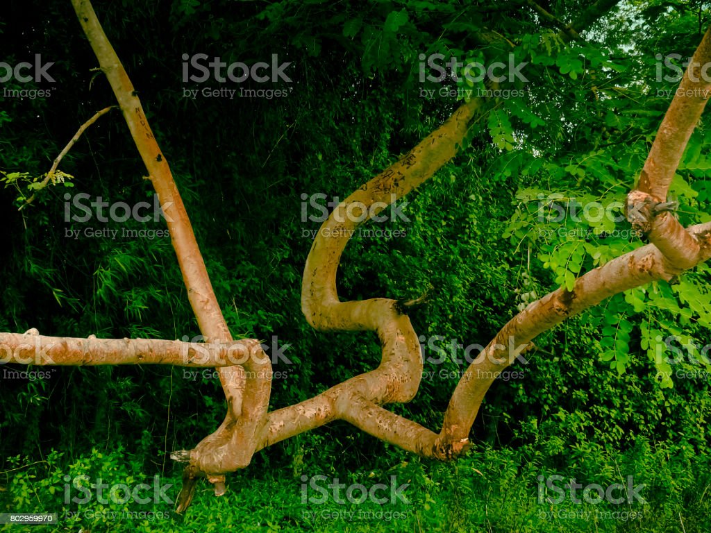 Ghost Tree- Taboda Sterculia urens stock photo
