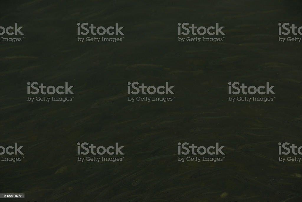 Ghostly Dark Menhaden stock photo