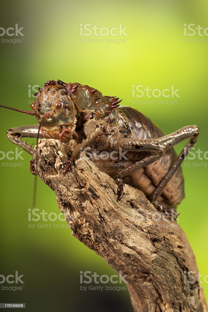 Giant African Armoured Cricket royalty-free stock photo