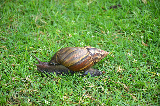 Giant African Land Snail A single giant african land snail in grass coot stock pictures, royalty-free photos & images