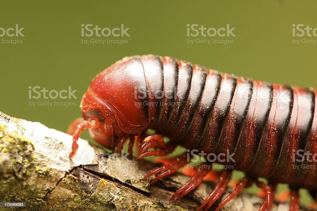 Giant African Millipede stock photo