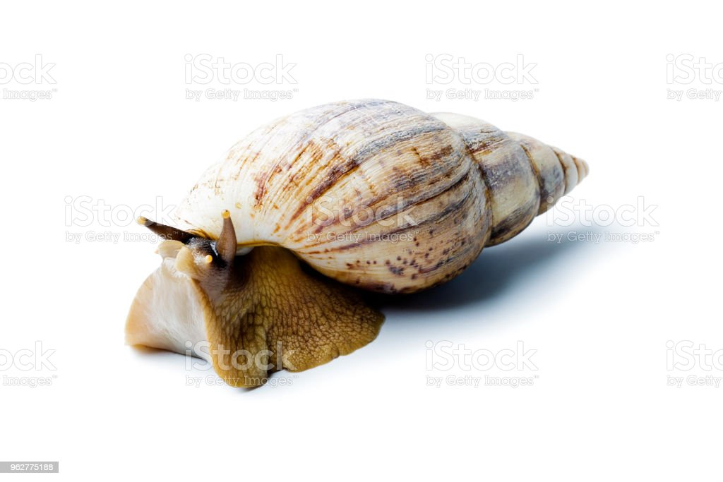 Giant african snail isolated on white background. Achatina fulica - Foto stock royalty-free di Africa