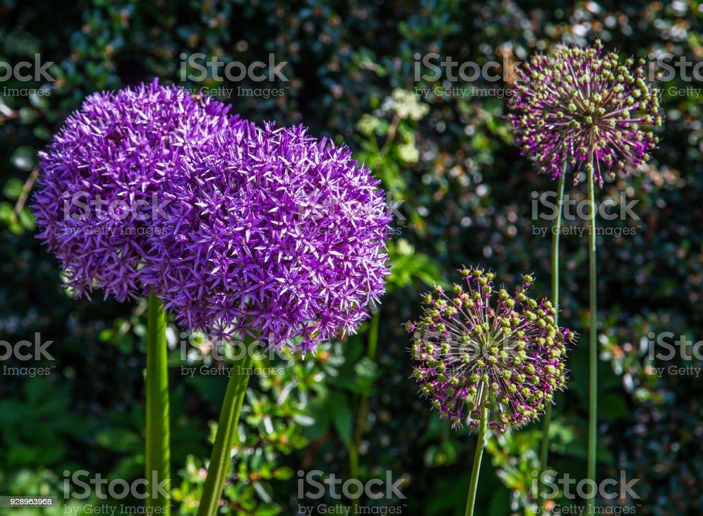 Giant Allium flowers stock photo