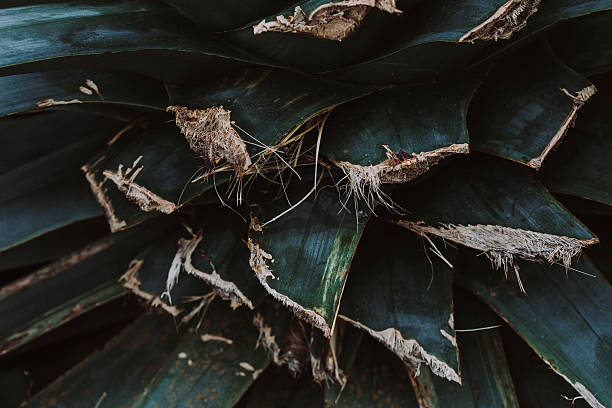 Giant Aloe Vera Plant with Leaves Cut for Medicinal Use stock photo