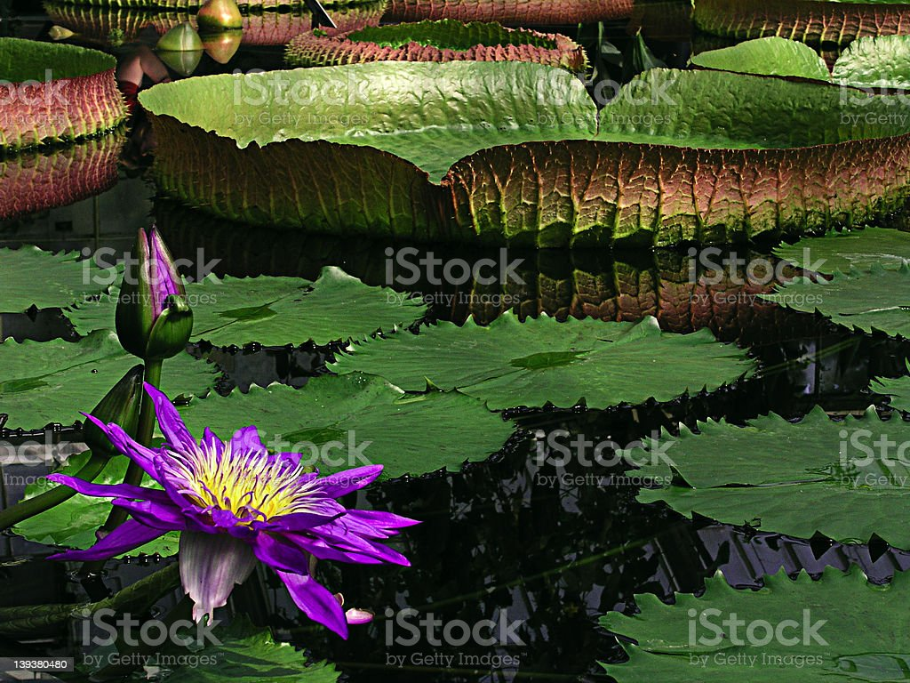 Giant Amazon Water Lily stock photo