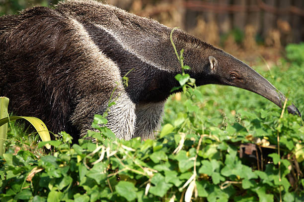 Giant Anteater close-up Giant Anteater close-up Giant Anteater stock pictures, royalty-free photos & images