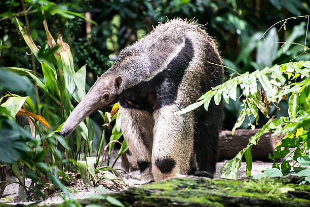 Giant Anteater In Nature Girant Anteater in Nature Giant Anteater stock pictures, royalty-free photos & images
