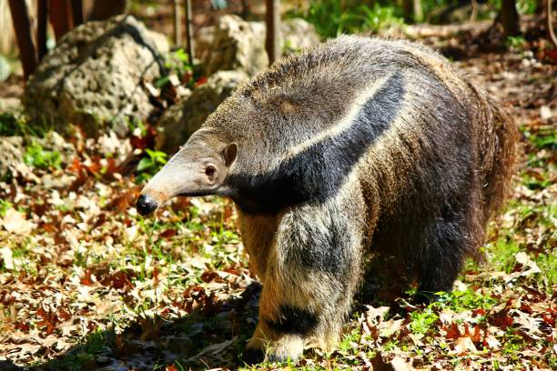 Giant Anteater in Zoo at Houston Anteater Giant Anteater stock pictures, royalty-free photos & images