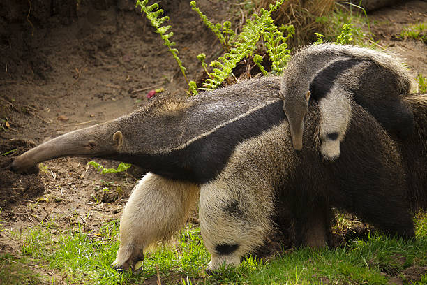 """Giant Anteater - Mother with Child on Back """"Giant Anteater, Myrmecophaga tridactyla,  Mother with three-month old child on Back. A native of Central and South America."""" Giant Anteater stock pictures, royalty-free photos & images"""