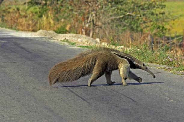 Giant Anteater, myrmecophaga tridactyla, Adult crossing Road, Los Lianos in Venezuela Giant Anteater, myrmecophaga tridactyla, Adult crossing Road, Los Lianos in Venezuela Giant Anteater stock pictures, royalty-free photos & images