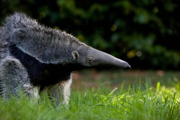 Giant Anteater, myrmecophaga tridactyla, Young Female Giant Anteater, myrmecophaga tridactyla, Young Female Giant Anteater stock pictures, royalty-free photos & images